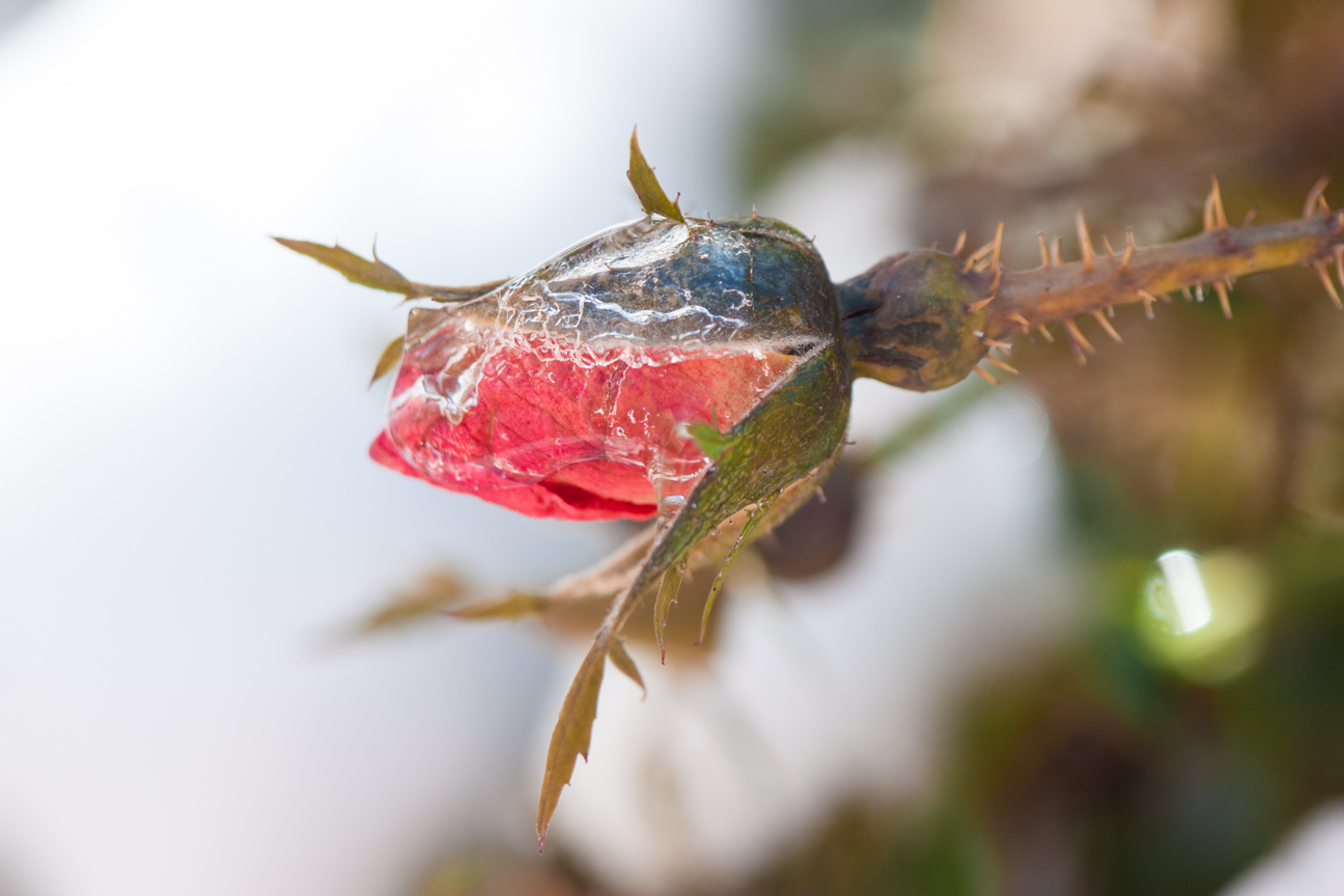 frozen rosebud close-up