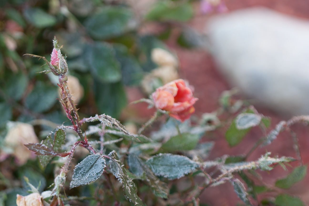 frozen rose bud with rose in background